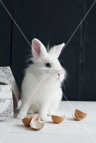 White rabbit and egg shells