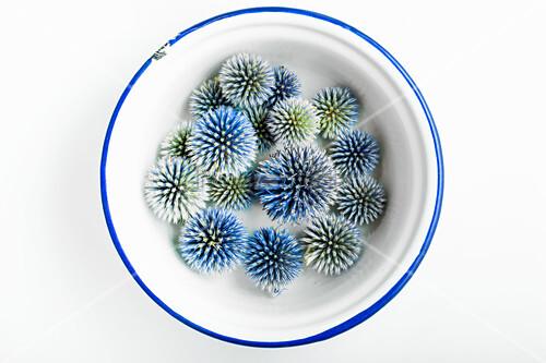 Dried globe thistle flowers (Echinops) in enamel bowl