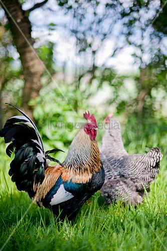 Ein Hahn und ein Huhn auf der Wiese