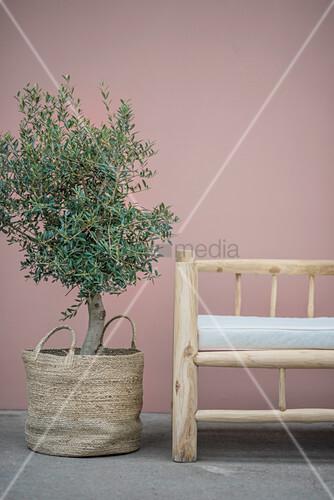 Olivenbäumchen in der Korbtasche neben rustikaler Holzbank