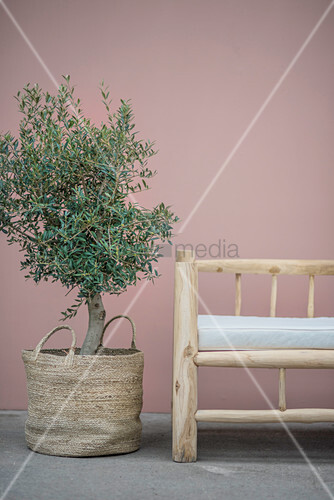 Small olive tree in basket next to rustic wooden bench