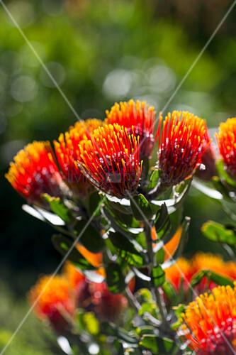 Bright orange Leucospermum flowers