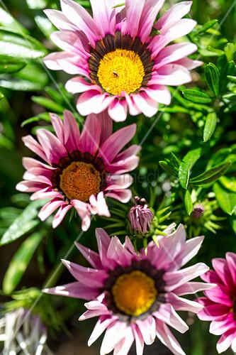 Pink Gazanias