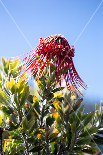 Red Leucospermum flower against blue sky