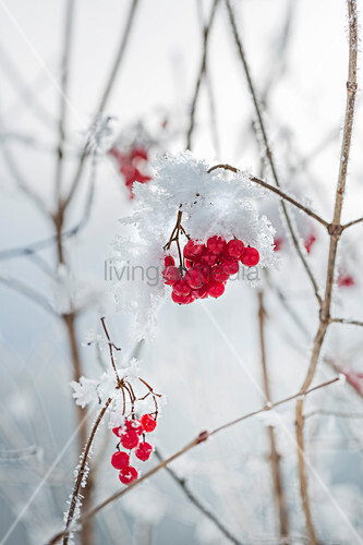 Red berries and snowflakes on bush