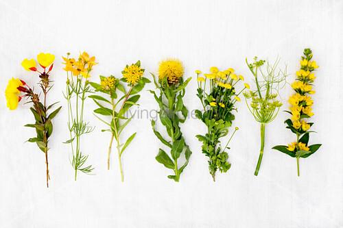 Verschiedene gelbe Sommerblumen, u.a. Goldferberich (Lysimachia punctata), Fenchelblüte