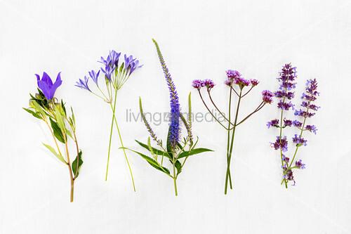Verschiedene blaue Sommerblumen, (ua. Glockenblume, Oregano)