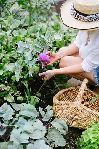 Frau mit Sommerhut erntet Kohlrabi im Garten