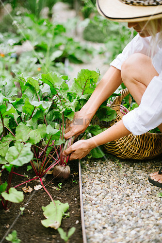 Frau mit Sommerhut erntet Rote Bete im Garten