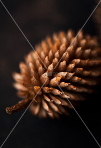 Pine cone (close-up)