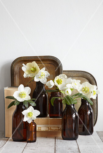Hellebore flowers in brown bottles