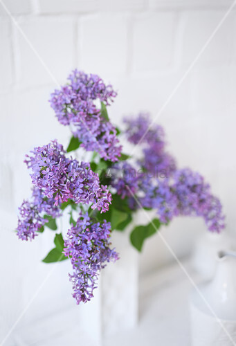Purple lilac in white vase