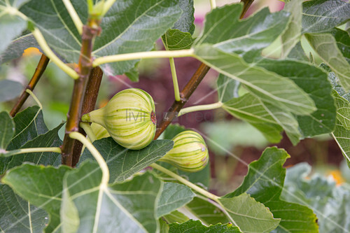 Striped Panachée figs