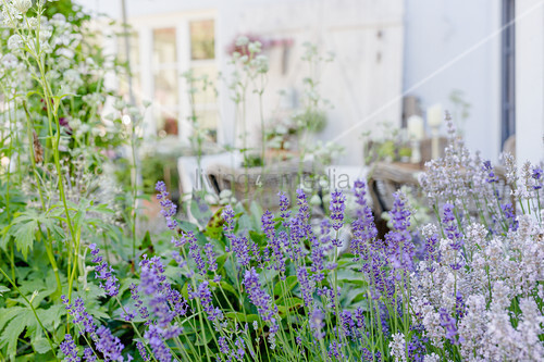 Lavender in nature