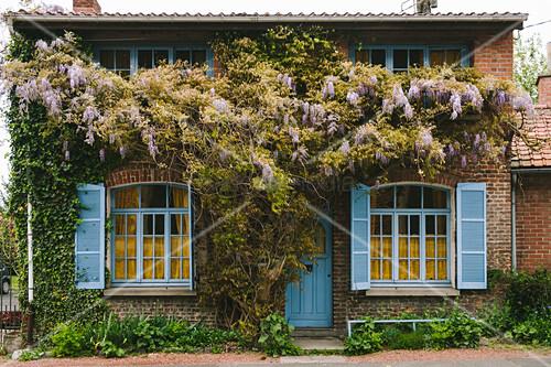 Blauregen an einem Backsteinhaus mit blauen Fensterläden