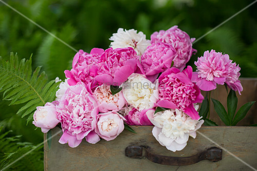 Pink and white peonies in old suitcase
