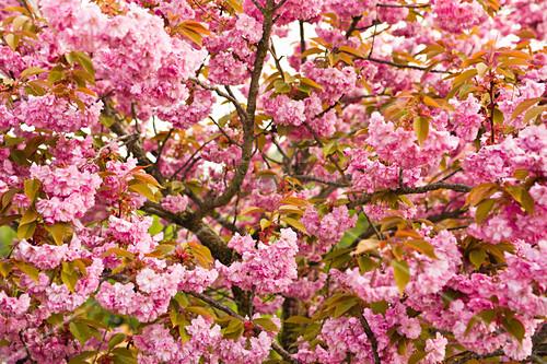 Japanese ornamental cherry in full blossom
