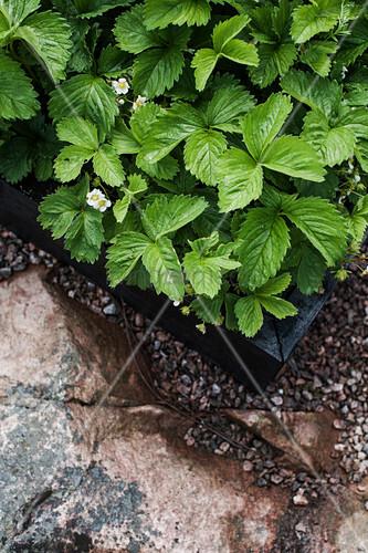 Flowering Strawberry Plants In Raised Buy Image