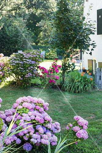 Blühende Hortensien im Garten, im Hintergrund Sommerblumen vor Haus