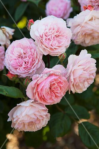Rosa blühende Rosen im Garten