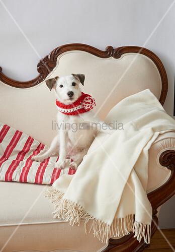 Hund mit gestricktem Schal sitzt auf einem alten Sofa