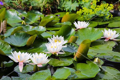White-flowering waterlilies in garden pond