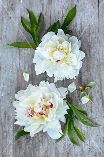 Weiße Pfingstrosenblüten auf Holzuntergrund