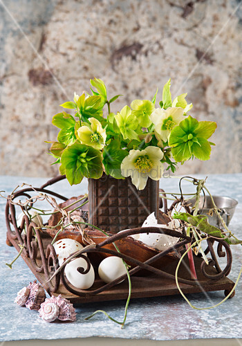 Verblühte Blüten von Christrose
