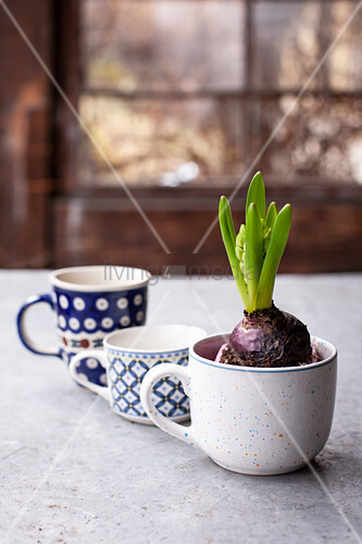 Hyacinths planted in mug