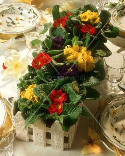 Dekorativer Blumenkasten mit Primeln als Tischdekoration