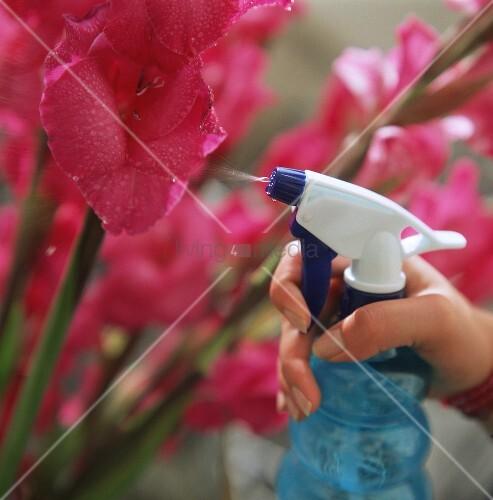 Blumen werden per Wassersprüher besprüht