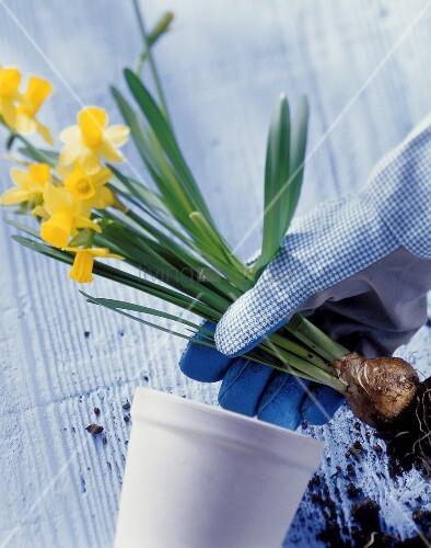 Repotting daffodils