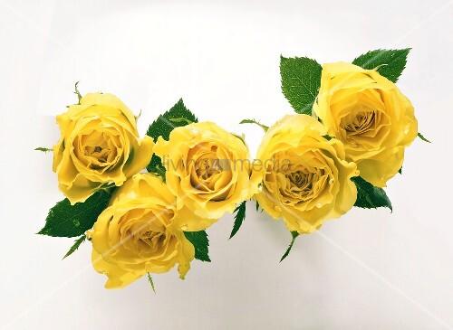 Gelbe Rosenblüten