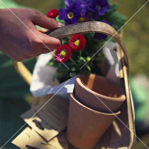 Primel, Bellis und zwei Blumentöpfe im Spankorb