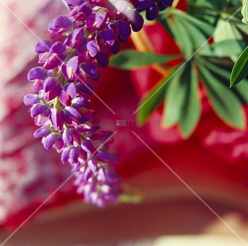 Blau-violette Lupinenblüte vor rotem Hintergrund
