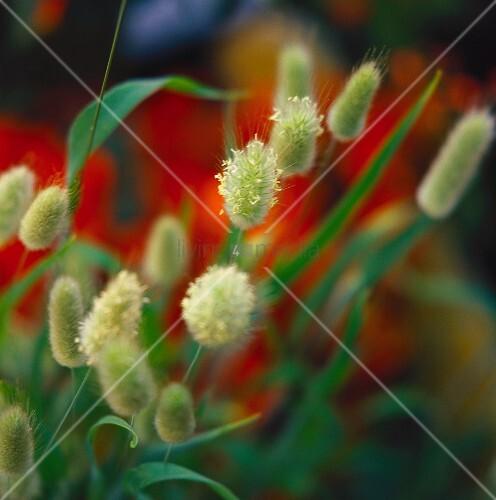Einjähriges Sammetgras (lat. Lagurus ovatus)