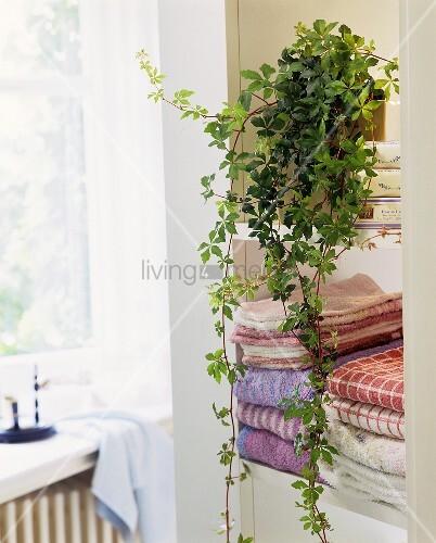 pflanze 39 russischer wein 39 lat cissus bild kaufen 00197414 living4media. Black Bedroom Furniture Sets. Home Design Ideas