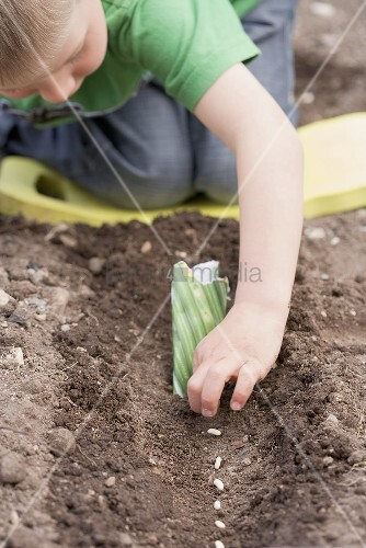 Junge setzt Bohnen in die Erde