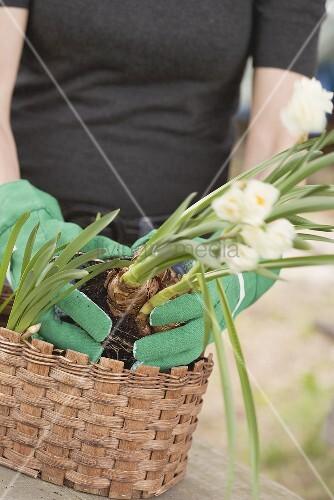 Frau pflanzt Narzissen in einen Korb