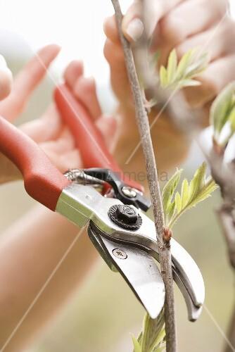 Zweig mit Gartenschere abschneiden