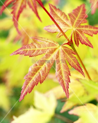 Japanese maple (Acer palmatum 'Orange Dream')