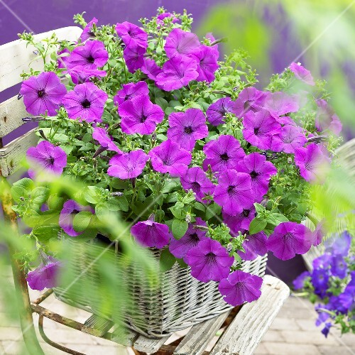 Petunia Viva 'Fluor Rose' in basket on garden chair