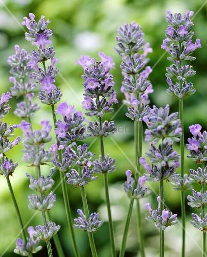 Echter Lavendel Kaufen : echter lavendel lavandula bild kaufen 00293604 living4media ~ Eleganceandgraceweddings.com Haus und Dekorationen
