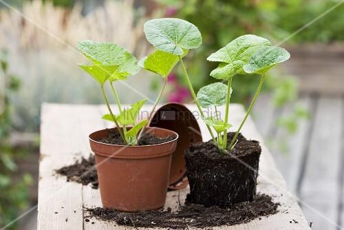 zwei stockrosen jungpflanzen in plastikt pfen bild kaufen living4media. Black Bedroom Furniture Sets. Home Design Ideas