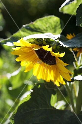 A sunflower in a garden (cropped)