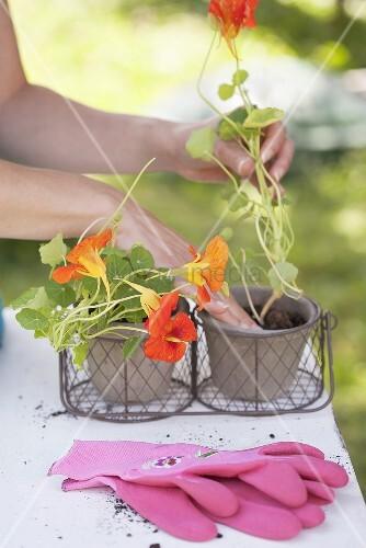Frau setzt Kapuzinerkresse in Blumentöpfe