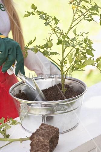 Tomatenpflanze einsetzen