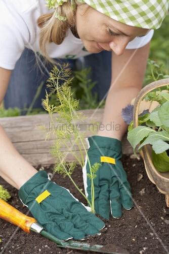 Frau pflanzt Fenchel ins Gemüsebeet