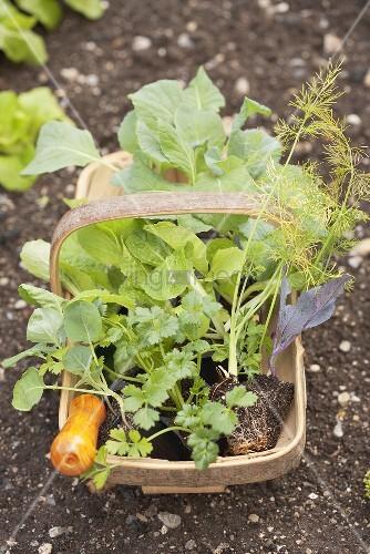 Korb mit verschiedenen Jungpflanzen im Gemüsebeet