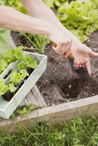 Frau pflanzt Salat ins Beet